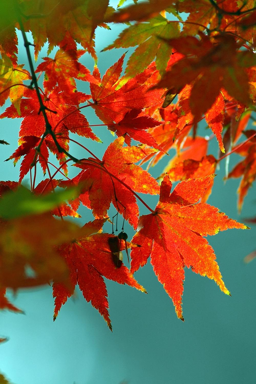 背景 壁纸 枫叶 红枫 绿色 绿叶 树 树叶 植物 桌面 1000_1500 竖版
